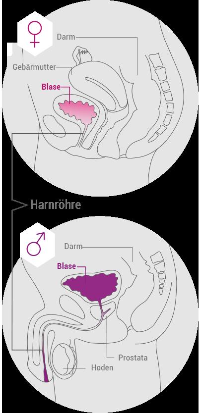 Wegen der kürzeren Harnröhre neigen Frauen zu Harnwegsinfektionen
